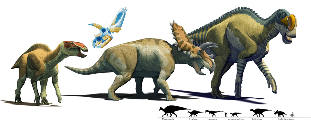 Mexican Dinosaurs, Quo Magazine August 2013. Infogrpihic of Huehuecanauthlus, Coahuilaceratops and Latirhinus. Art by Román García Mora.