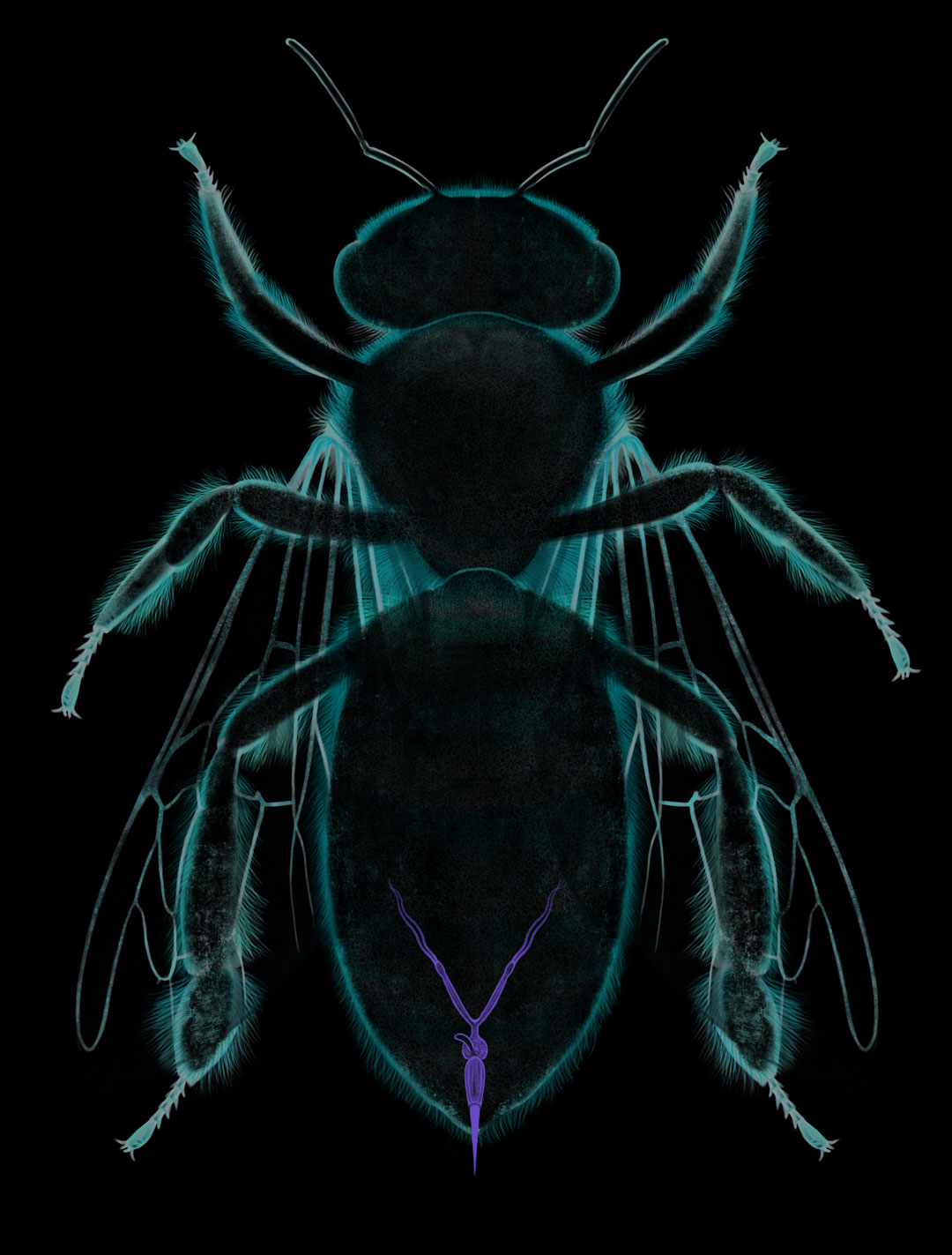 Apis mellifera, inner anatomy. Atrofied reproductive system of  a worker bee, with its ovopositor modified as a stinger. Art by Román García Mora.