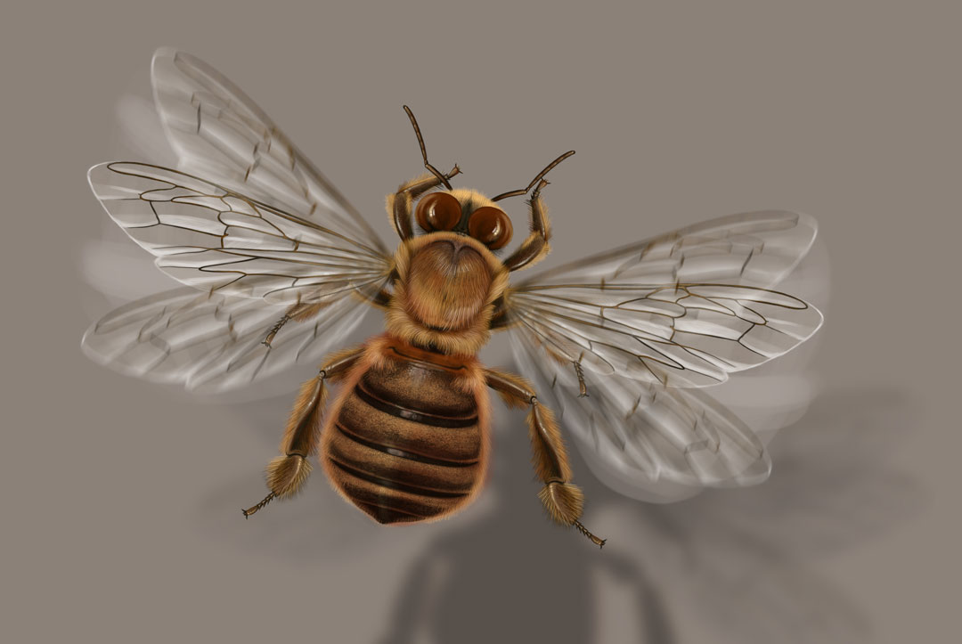 Beehive, Apis mellifera. Flying drone bee. Art by Román García Mora.