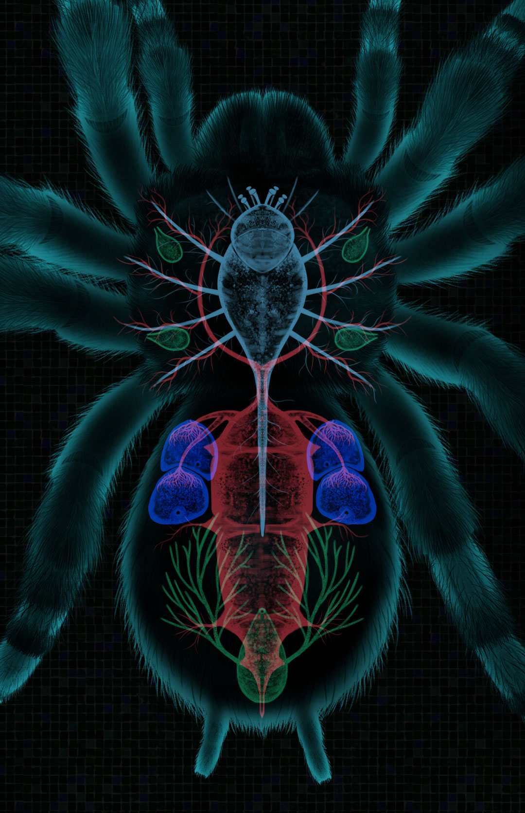 Brachypelma smithi. Brachypelma smithi, internal anatomy with some  organs isolated. Green: Excretory System; Pale Blue: Nervous System; Dark Blue: Respiratory System; Red: Circulatory Sustem. Art by Román García Mora.
