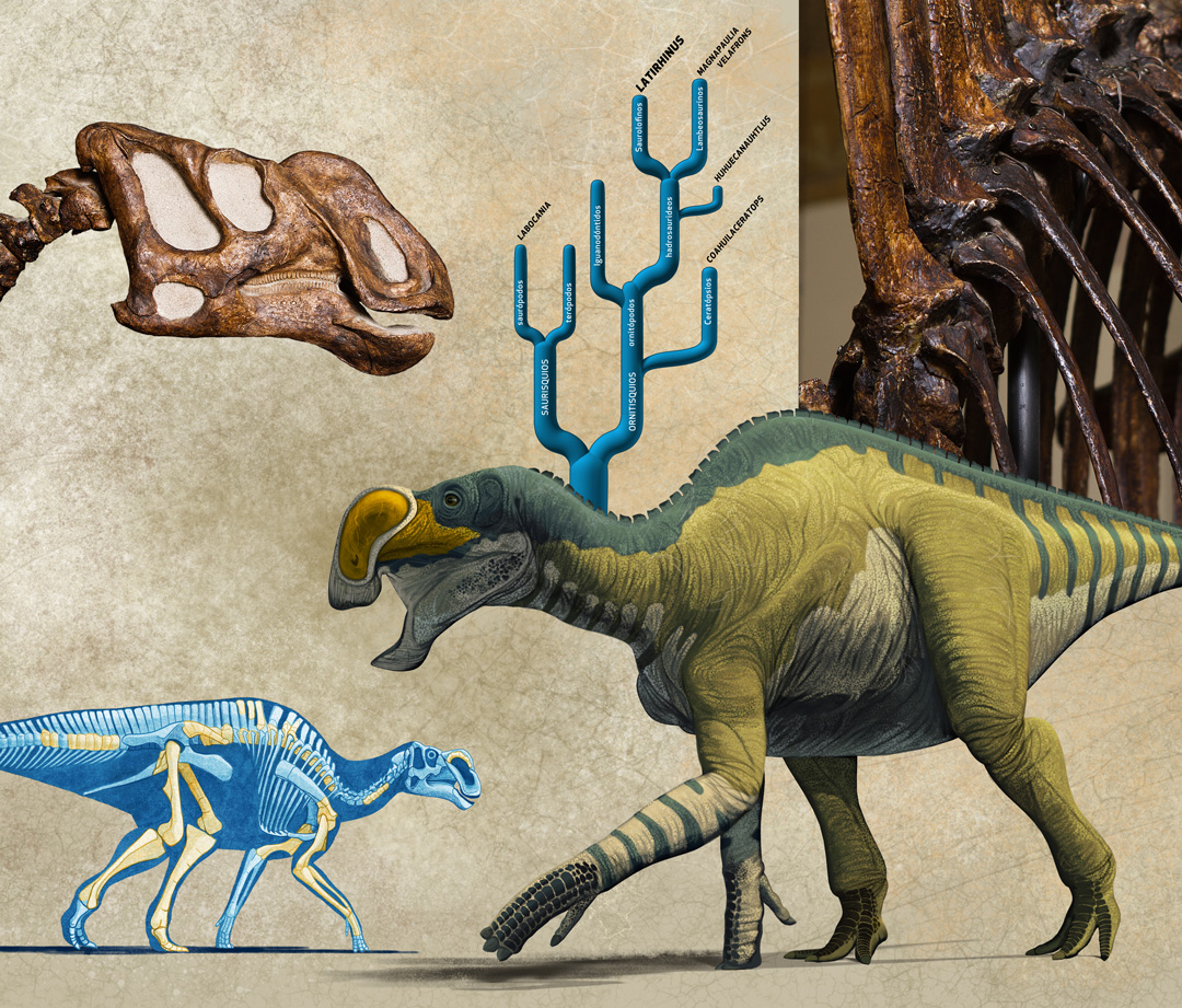 Mexican Dinosaurs, Quo Magazine August 2013. Infographic of Latirhinus uitslandi, first dinosaur described in Mexico, nicknamed as Isauria. Art by Román García Mora.