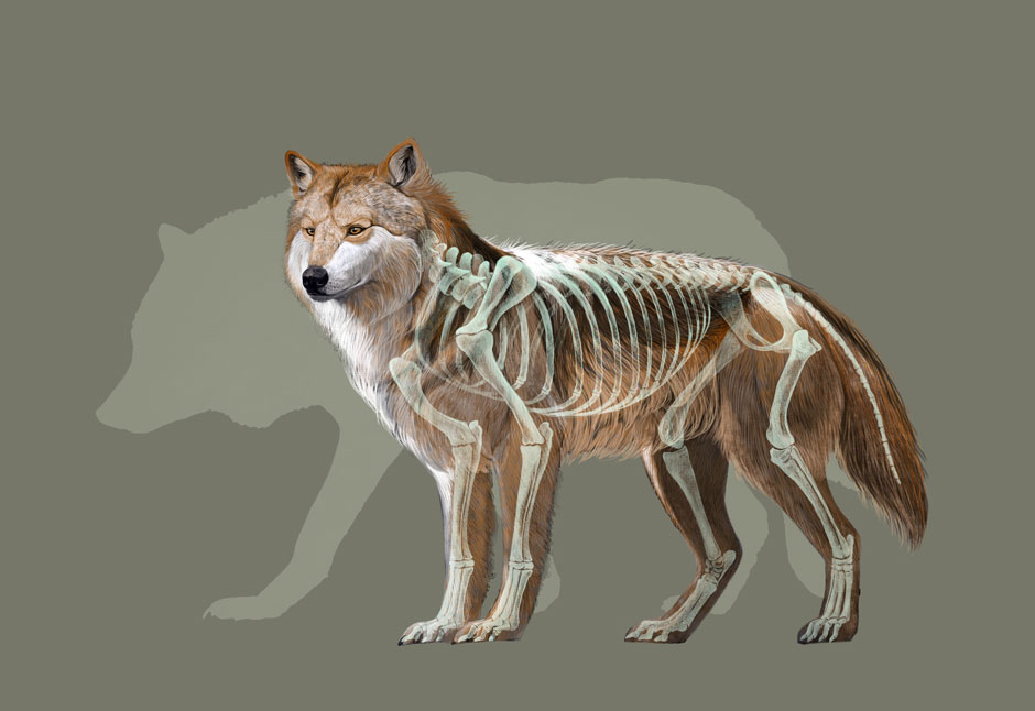 Mexican Wolf, Quo Magazine October 2013. Mexican Wolf compared with its relative the Grey Wolf. Art By Román García Mora.