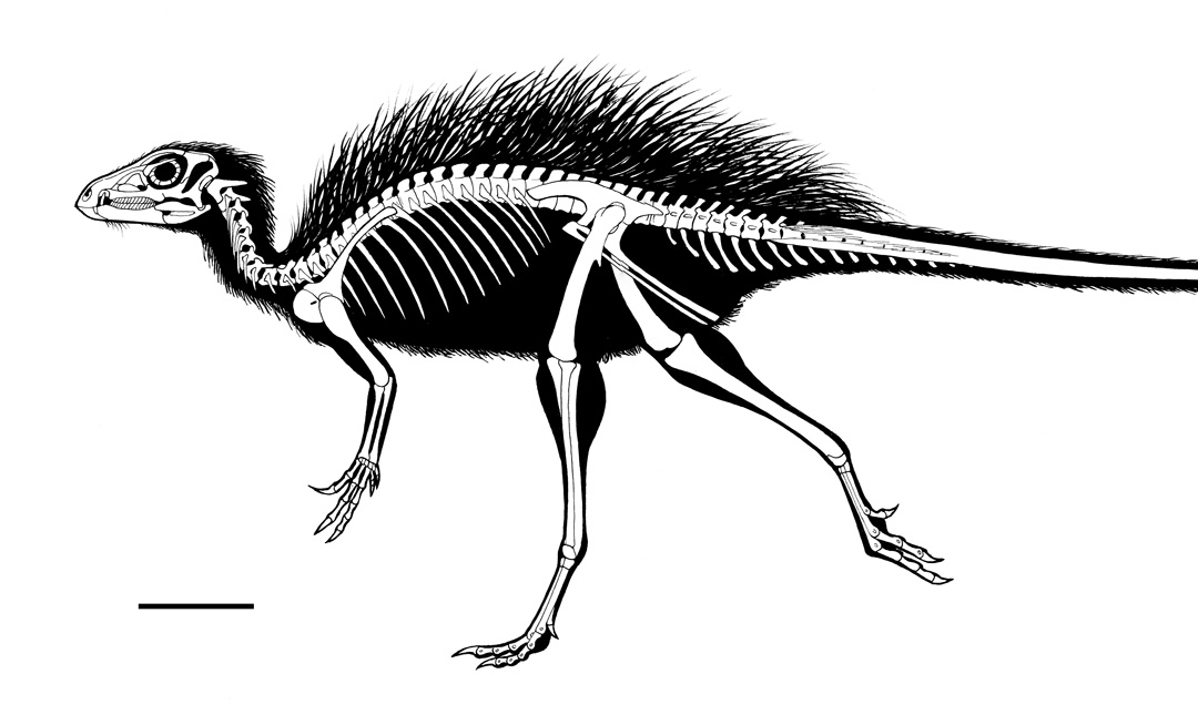 Tianyulong confuciusi infographic. Skeletal reconstruction. Art by Román García Mora.