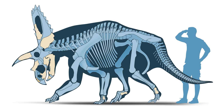 Coahuila Dinosaurs, Mexico Desconocido Magazine. Coahuilaceratops magnacuerna skeletal reconstruction. Art by Román García Mora.