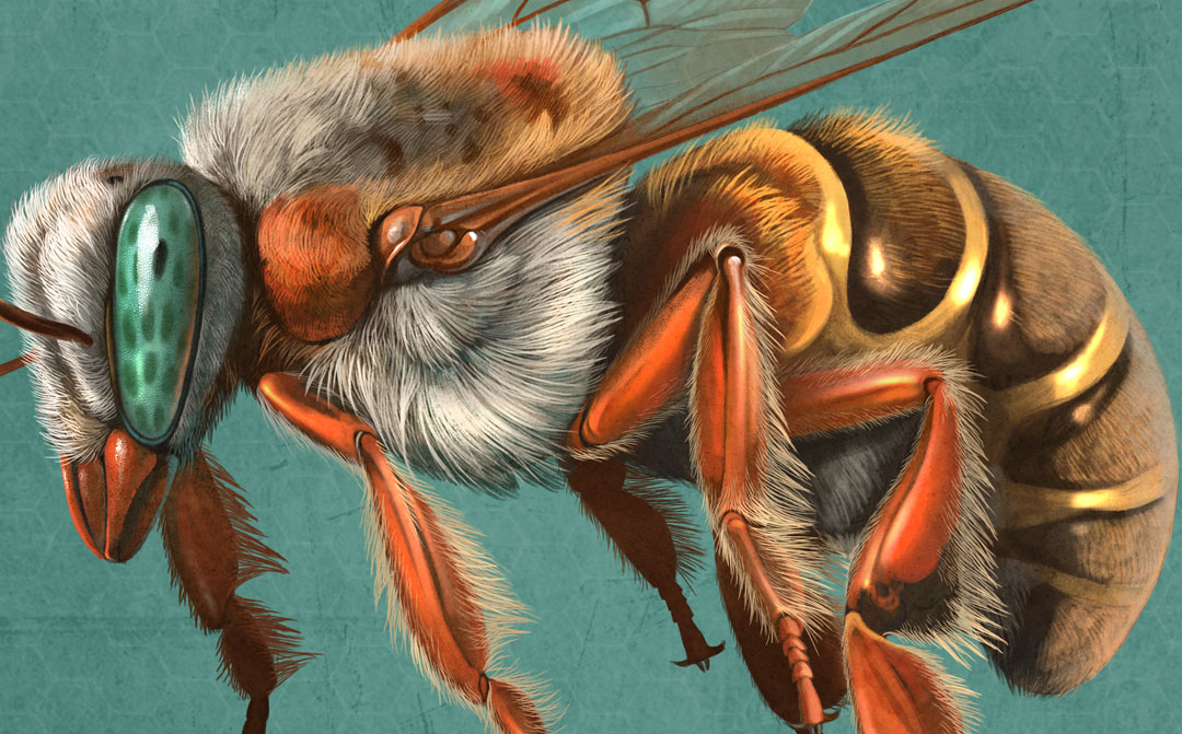 Native Bees, Quo Magazine November 2014. Melipona detail. Art by Román García Mora.