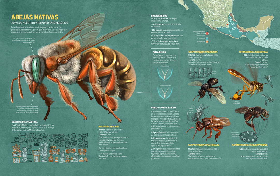 Native Bees, Quo Magazine November 2014. Final infographic. Art by Román García Mora.