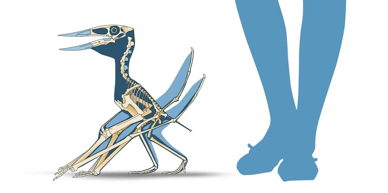 Coahuila Dinosaurs, Mexico Desconocido Magazine. Muzquizopteryx coahuilensis skeletal reconstruction. Art by Román García Mora.