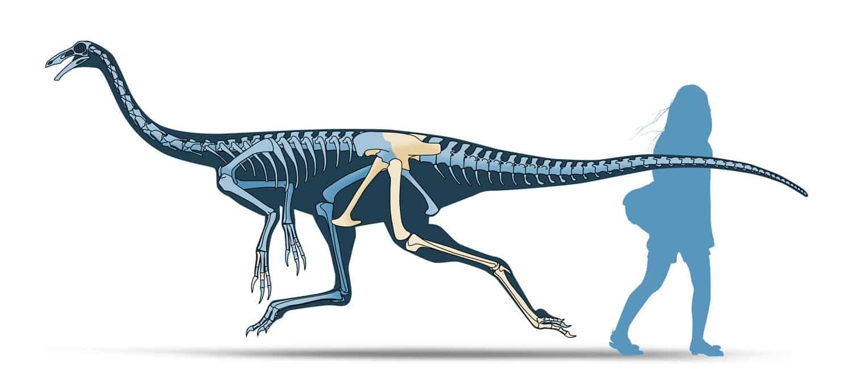 Coahuila Dinosaurs, Mexico Desconocido Magazine. Saltillomimus rapidus skeletal reconstruction. Art by Román García Mora.