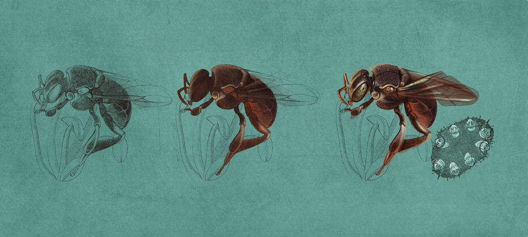Native Bees, Quo Magazine November 2014. Nannotrigona step by step. Art by Román García Mora.