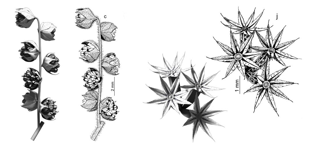 A Year of illustrations for Flora Ibérica. 3D models and the outcome made with ink. Left: Detail of inflorescence of Iva xanthifolia. Right: Group of achenes of Schkuhria pinnata. Art by Román García Mora.