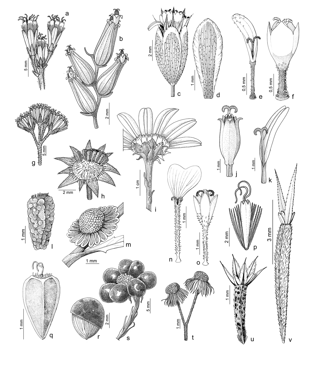 A Year of illustrations for Flora Ibérica. Some final details. a) detail of the inflorescence of Eupatorium cannabinum, b) detail of the inflorescence Flaveria bidentis, c) capitula of Schkuhria pinnata, d) bract of Schkuhria pinnata, e) radial flower of Schkuhria pinnata, f) disc flower of Schkuhria pinnata, g) detail of the inflorescence of Ageratina adenophora, h) floral receptacle during the fruiting of Ecliptra prostrata, i) capitula of Crhysanthemoides monilifera, j) disc flower of Ecliptra prostrata, k) radial flower of Ecliptra prostrata, l) achene of Ecliptra prostrata, m) floral receptacle during the fruiting of Centipeda cunninghamii, n) radial flower of Schkuhria pinnata, o) disc flower of Schkuhria pinnata, p) disc flower of Eupatorium cannabinum, q) achene of Iva xanthifolia, r) ​​fleshy achene of Crhysanthemoides monilifera, s) fruit of Crhysanthemoides monilifera, t ) floral receptacle during the fruiting of Conyza bonariensis, u) achene of Schkuhria pinnata, v) achene of Tagetes minuta. Art by Román García Mora.