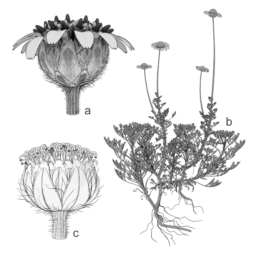 A Year of illustrations for Flora Ibérica. 3D mockups for Flora Ibérica. a) Capitula of Tanacetum vahlii; b) Anthemis saxatilis habit; c) capitula of Tanacetum funkii. In this extinct species reconstructing the capitula in 3D was the only way to show this detail convincingly. Art by Román García Mora.