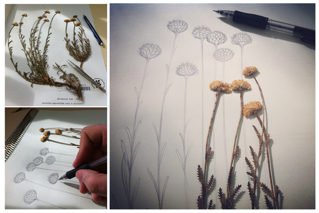 A Year of illustrations for Flora Ibérica. Sketching Santolina ageratifolia. Photography by Román García Mora.