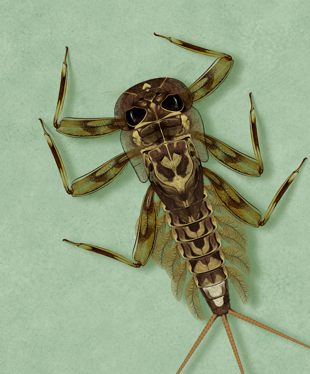 Fly Fishing Projects. Flat nymph (Ecdyonurus sp). Art by Román García Mora.