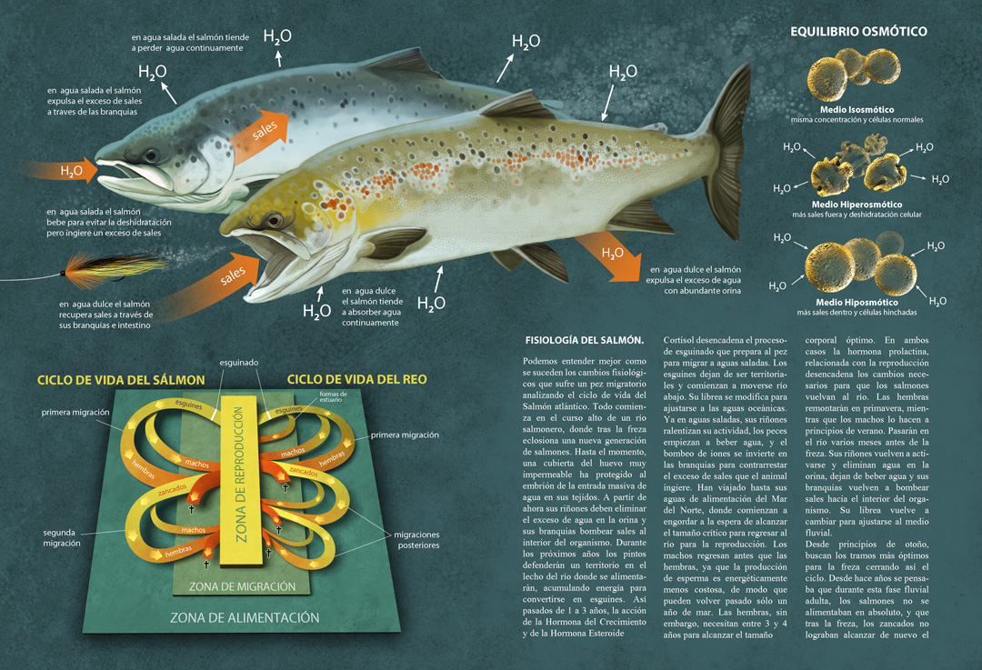 Fly Fishing Projects. Migratory fishes infographic. Art by Román García Mora.
