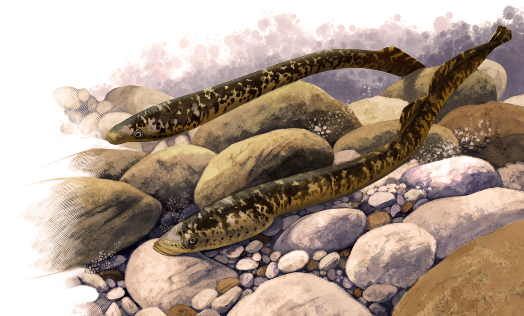 Fly Fishing Projects. A couple of lampreys guarding her spawn. Art by Román García Mora.