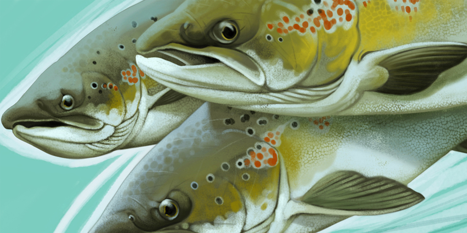 Fly Fishing Projects. Atlantic Salmon (Salmo salar). Detail. Art by Román García Mora.