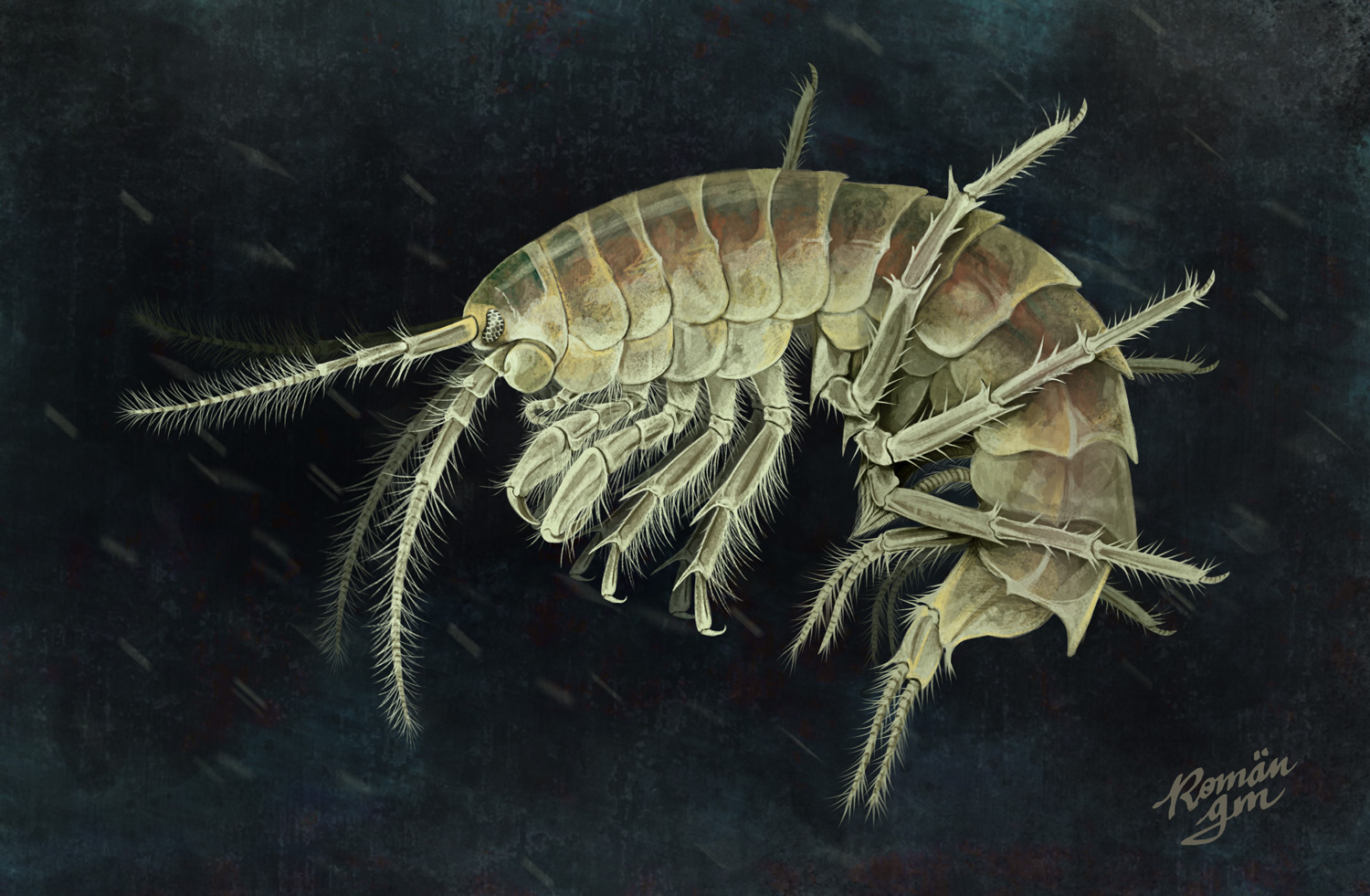 Fly Fishing Projects. Gammarus pulex. Art by Román García Mora.