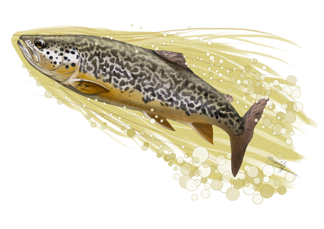 Fly Fishing Projects. Marble Trout (Salmo marmoratus). Art by Román García Mora.