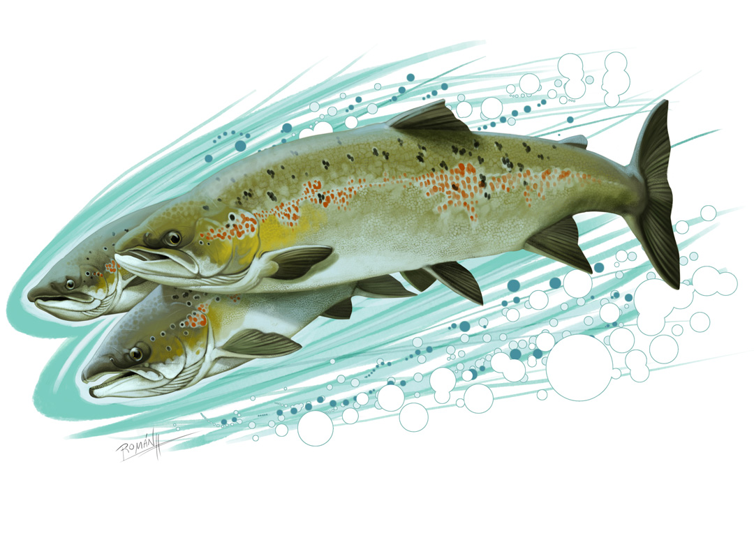 Fly Fishing Projects. Atlantic Salmon (Salmo salar). Art by Román García Mora.