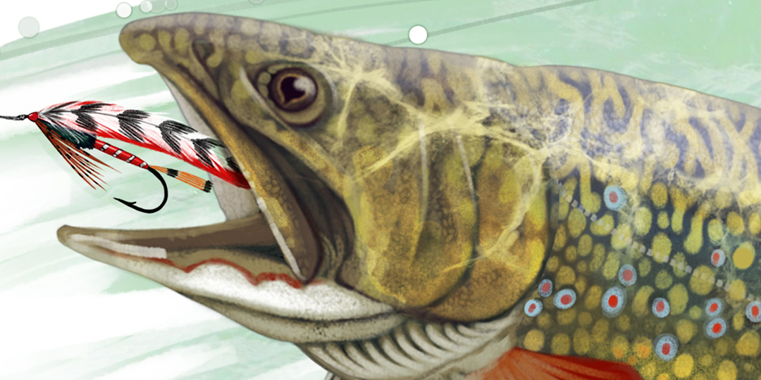 Fly Fishing Projects. Brook trout (Salveliuns fontinalis). Detail. Art by Román García Mora.