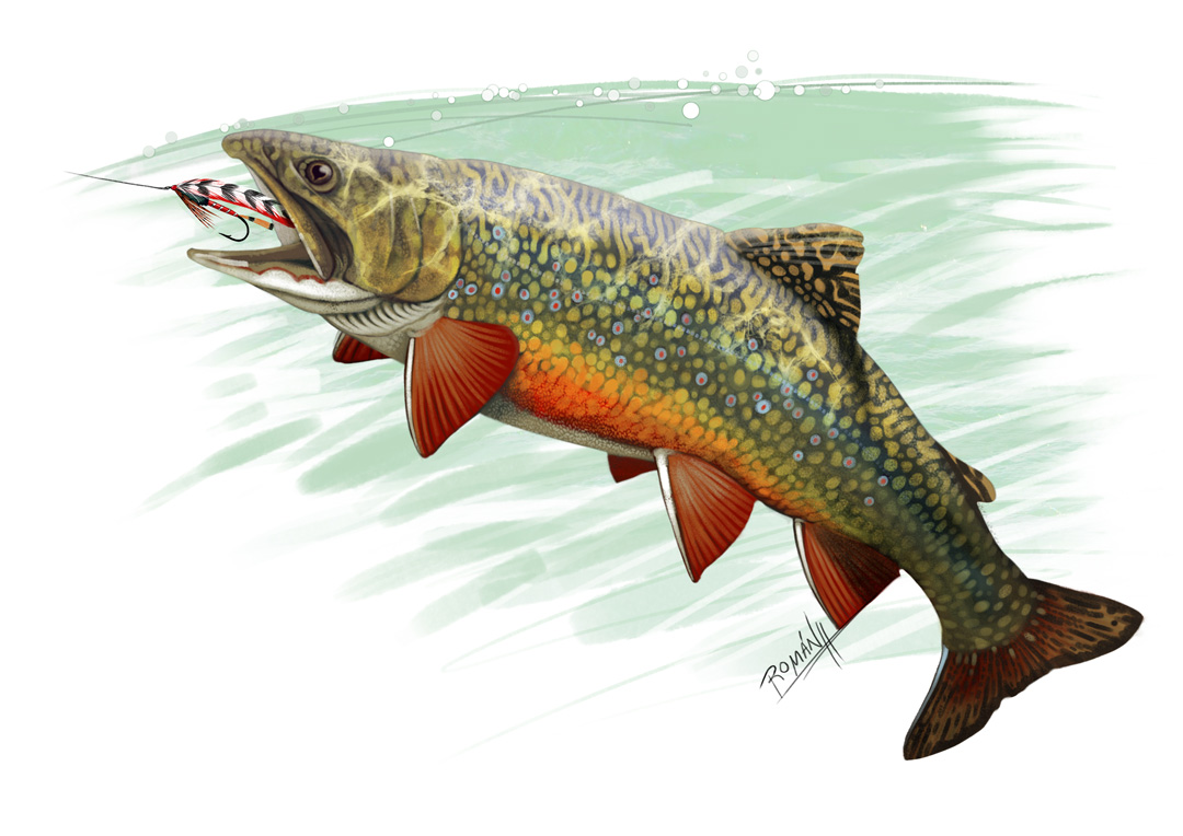 Fly Fishing Projects. Brook trout (Salveliuns fontinalis). Art by Román García Mora.