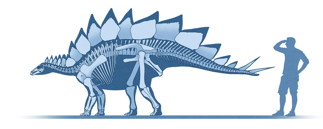 Dinosaur colection, National Geographic Kids. Stegosaurus ungulatus, skeletal reconstruction. Art by Román García Mora.
