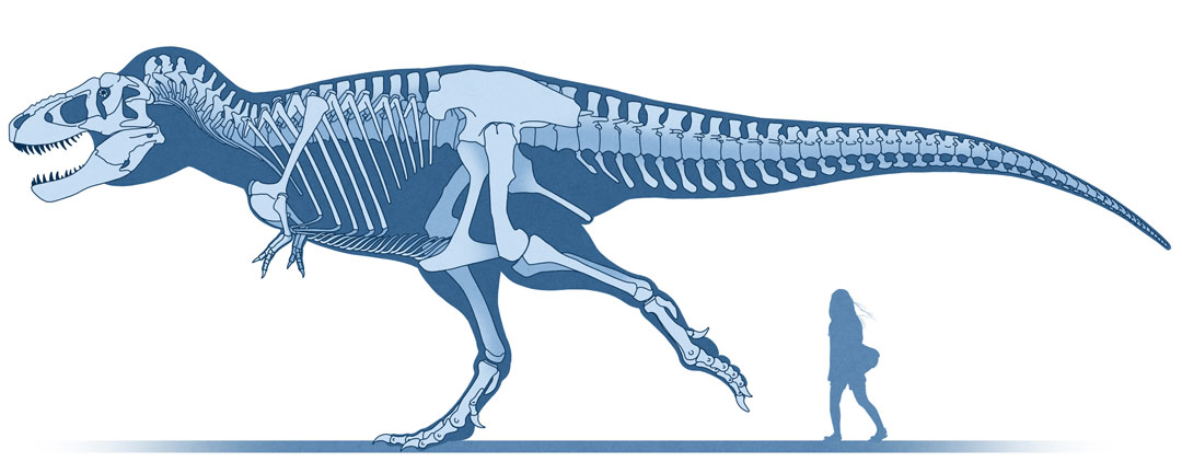 Dinosaur colection, National Geographic Kids. Tyrannosaurus skeletal reconstruction. Art by Román García Mora.